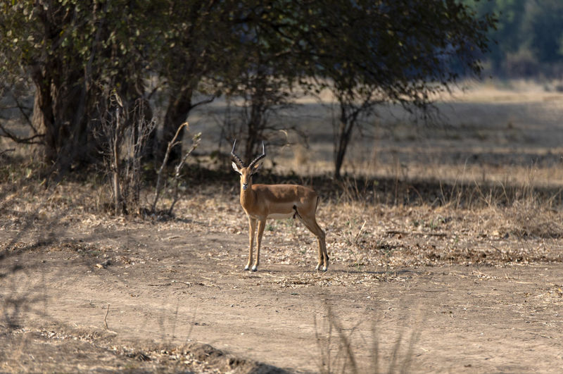 Impala standing in a field