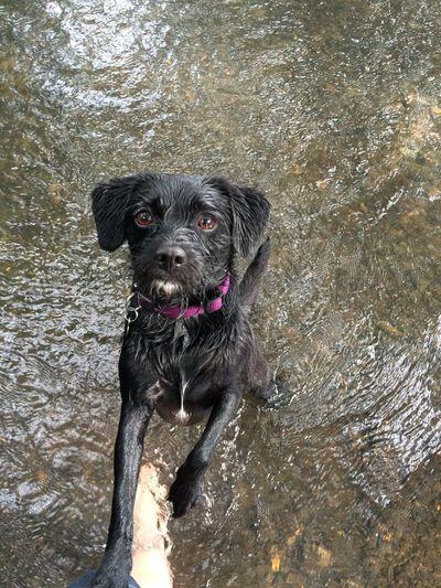 Portrait of black dog standing in lake