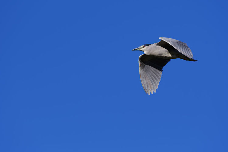 Low angle view of black-crowned night heron flying against clear blue sky