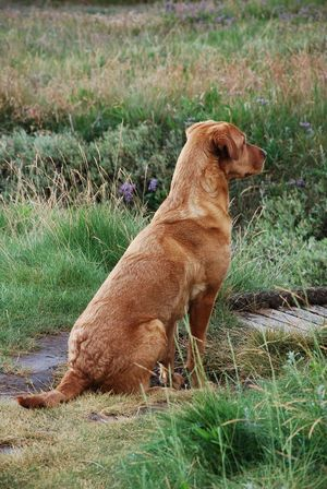 Waiting for you Grass Animal Themes Field One Animal Mammal Domestic Animals Pets Dog No People Nature Brown Outdoors Day Lab Labrador Labrador Retriever LabradorRetriever Red Lab Fox Red Lab