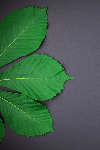 Leaf Green Black Leaves Plant Floral Chestnut Flat Lay Flatlay Background Pattern Top View Isolated Nature Dark Spring Texture Natural Frame Summer Color Minimal Mockup Mock Up Fresh Design Organic Wallpaper Foliage Decorative Workspace Minimalism Decoration Modern Colorful Herb Paper Bright Duotone Abstract Freshness Unique Concept Seasonal Botany Botanical