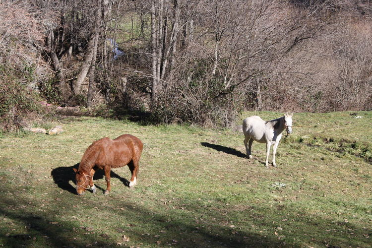 Horses Mammal Animal Themes Animal Domestic Animals Livestock Group Of Animals Land Tree Plant Domestic Animal Wildlife Vertebrate Field Grazing Agriculture Two Animals Pets No People Grass Day Herbivorous Outdoors Animal Family