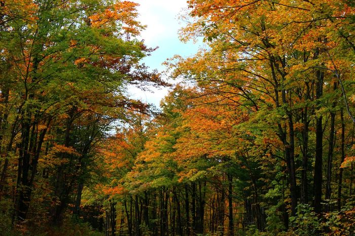 Woodland vibrancy Beauty In Nature Colorful Leaves Deep Woods Exploration Fall Forest Growth Growth Hiking Landscape Lush Foliage Nature October Outdoors Peace Scenics Season  Tranquility Travel Tree Vibrant Color Wisconsin Woods Zen