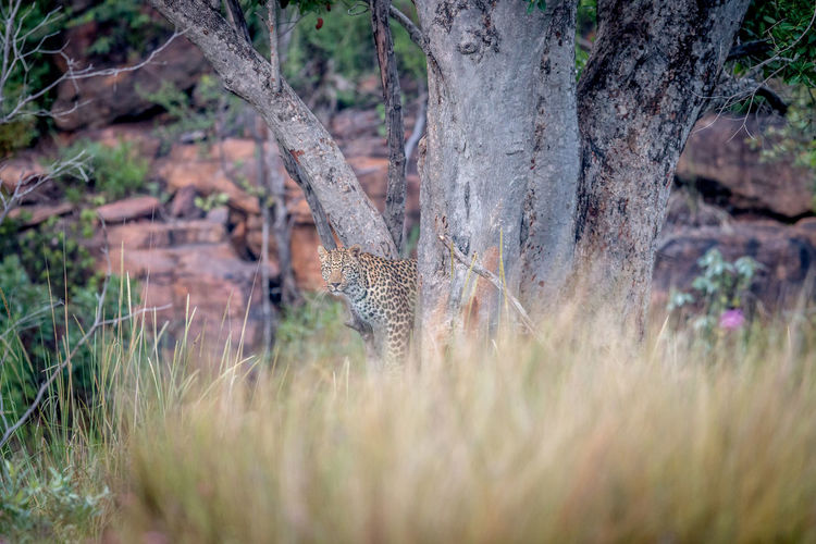 Leopard standing in a tree in the Welgevonden game reserve, South Africa. Animal Themes Animals In The Wild Animal Wildlife Animal Safari Animals Safari Travel Travel Destinations Nature Nature Photography Beauty In Nature Kruger Park Wildlife Wildlife & Nature Wildlife Photography Africa African Animals African Safari Feline Big Cat Mammal Leopard Panthera Pardus Big Five Cat