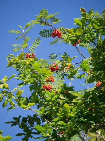 Sorbus Aucuparia Mountain Ash / Rowan Tree in Scotland Queen Elizabeth Forest Park Scotland Aberfoyle Beauty In Nature Day Freshness Fruit Growth Leaf Nature No People Outdoors Plant Red Rowan Tree Rowanberry Sorbus Aucuparia Tree