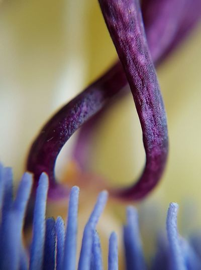 Abstract macro shot of a passion flower. Eyeem Market Nofilter Noedit NoEditNoFilter EyeEm Macro EyeEm Macro Collection EyeEm Macro Lover Macro Macro Photography PhonePhotography Abstract Abstract Photography Yellow Blue Passion Flower EyeEmNewHere Close-up Purple Stamen