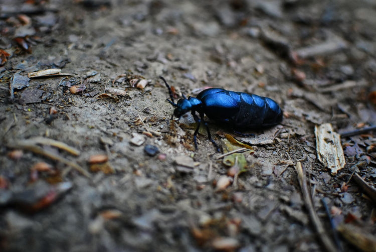 Blue Color Animal Themes Animal Wildlife Animals In The Wild Black Color Close-up High Angle View Insect Invertebrate One Animal Selective Focus Zoology