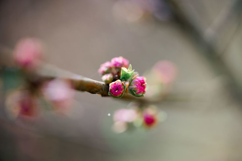 Almond Blossom Macro Beauty Beauty In Nature Blossom Bud Cherry Blossom Cherry Tree Close-up Fineartphotography Flower Flower Head Flowering Plant Focus On Foreground Fragility Freshness Growth Nature Outdoors Petal Pink Color Plant Pollen Selective Focus Springtime Vulnerability