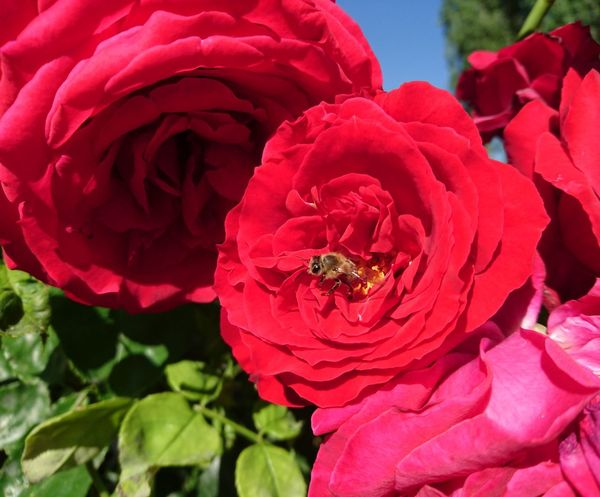 Enjoying The Sun Picnic Relaxing Smile Happy Nature Naturelovers Niceweather Nature Photography Taking Photos Roses Rose - Flower Rose🌹 Nothingness Red Highland EyeEm Gallery Tao  Flowerphotography Flowerphoto Flowerphotographer HoneyBee Honeybee On Wild Rose Honeybee On Flower Bee Finding New Frontiers
