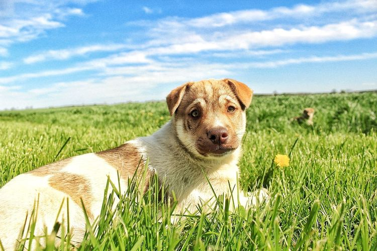 Dog Pets Grass Farm Life Field Outdoors Sky Nature Portrait Looking At Camera Puppy Husky Sharpei Mammal One Animal Domestic Animals Day Animal Themes No People