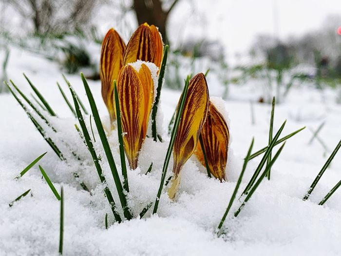 Winter Snow Cold Temperature Beauty In Nature Plant Nature Growth No People Close-up Focus On Foreground Vulnerability  White Color Fragility Field Covering Frozen Freshness Day Orange Color Outdoors