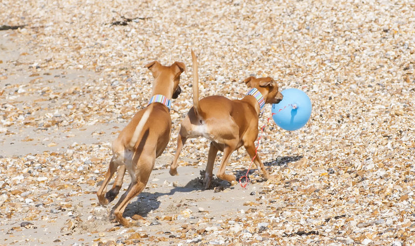 Dogs chasing balloon