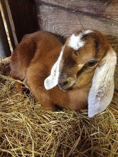 Smile Lovable Pets! Lazy Day Serenityacres Serenitygoats Relaxing Goat Life Goatfarm Goat Animal Photography Animal_collection Cute Pets Hello World Babygoat Newborn