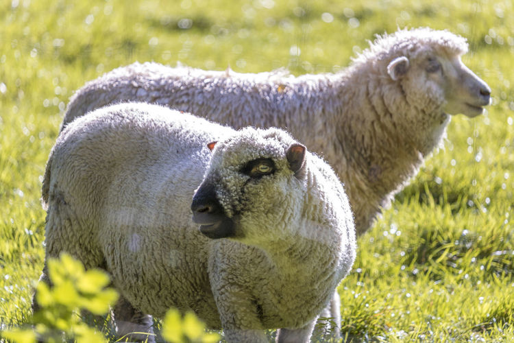 Animal Themes Close-up Day Domestic Animals Field Focus On Foreground Grass Green Color Lamb Livestock Mammal Nature No People Outdoors Sheep Togetherness Two Animals Young Animal