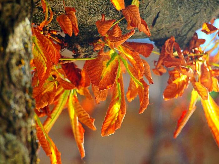 Autumn feels... Autumn Leaf No People Nature Day Plant Beauty In Nature Outdoors Close-up Tree Orangeleaves Dryleaves Autumn Colors Autumn🍁🍁🍁