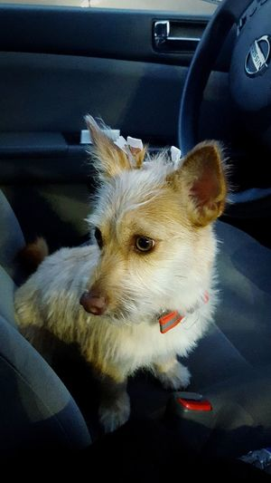 Got a Haircut Puppy Puppies Dog MiaPup Pet Groomer Haircut Dog Grooming Furry Fluffy Trim Bow Hairbow Small Dog Eyes Car