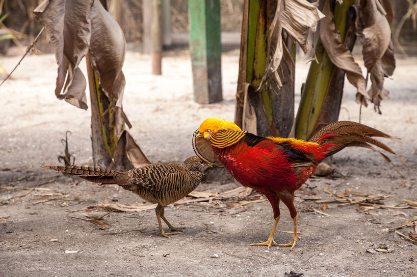 Mating display of a male Golden pheasant also called the Chinese pheasant or chrysolophus pictus is known as a game bird. Animal Themes Bird Animal Vertebrate Day Mating Display Golden Pheasant Chinese Pheasant Mating Mating Dance Chrysolophus Pictus Courtship Colorful Bird Long Feathers Long Tail Plume Nature Display Competition Compete