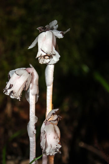 Animal Skull Beauty In Nature Close-up Day Flower Flower Head Focus On Foreground Fragility Growth Nature No People Outdoors Plant Skeleton Stem Wilted Plant