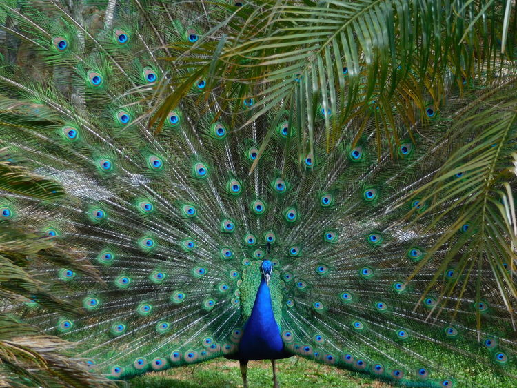 Beautiful Animal Themes Animal Wildlife Animals In The Wild Beauty In Nature Bird Close-up Day Fanned Out Feather  Nature No People One Animal Outdoors Peacock Peacock Feather Spread Feathers Spread Wings