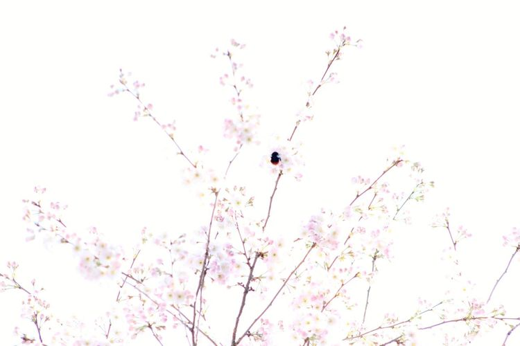 Cherry Blossom Bumblebee Flower Flying Sky Animal Themes Insect Branch
