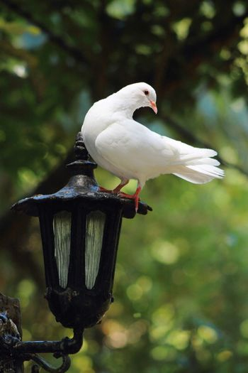 A White Dove perches on Lantern Lamp Post Peace Pure Animal Themes Animal Wildlife Animals In The Wild Beauty Beauty In Nature Beauty In Nature Bird Close-up Day Delicate Dove Focus On Foreground Nature No People One Animal Outdoors Perching Purity Religion Religion And Beliefs Symbolic  White Color