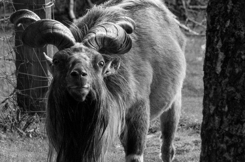The Highland Wildlife Park on a rainy day. Goat Horns Rain Scotland Turkmenian Markhor Animal Themes Animals Balck And White Close Up Day Highland Wildlife Park Mammal Monochrome Nature No People One Animal Outdoors Portrait Scottish Highlands Wildlife