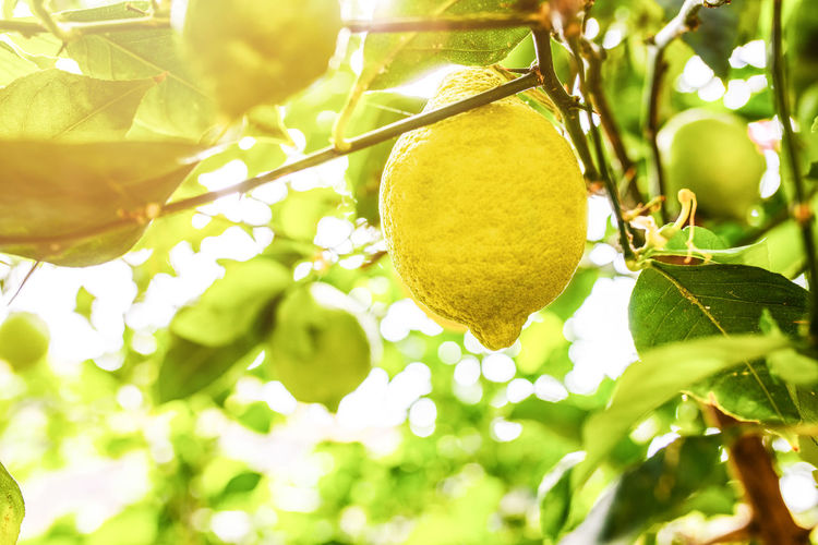 Citrus Fruit Close-up Day Food Food And Drink Freshness Fruit Fruit Tree Green Color Growth Healthy Eating Leaf Lemon Lemon Tree Nature No People Organic Outdoors Plant Plant Part Ripe Tree Wellbeing