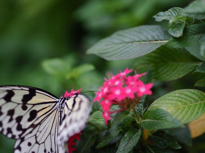 だから、西東京市じゃないって… Butterfly - Insect Butterfly Insect Flower Leaf Plant Fragility Animal Themes No People Green Color Freshness Close-up One Animal Olympus OM-D E-M5 Mk.II