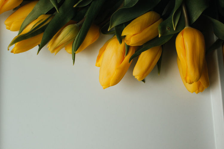 High angle view of yellow tulips against white background