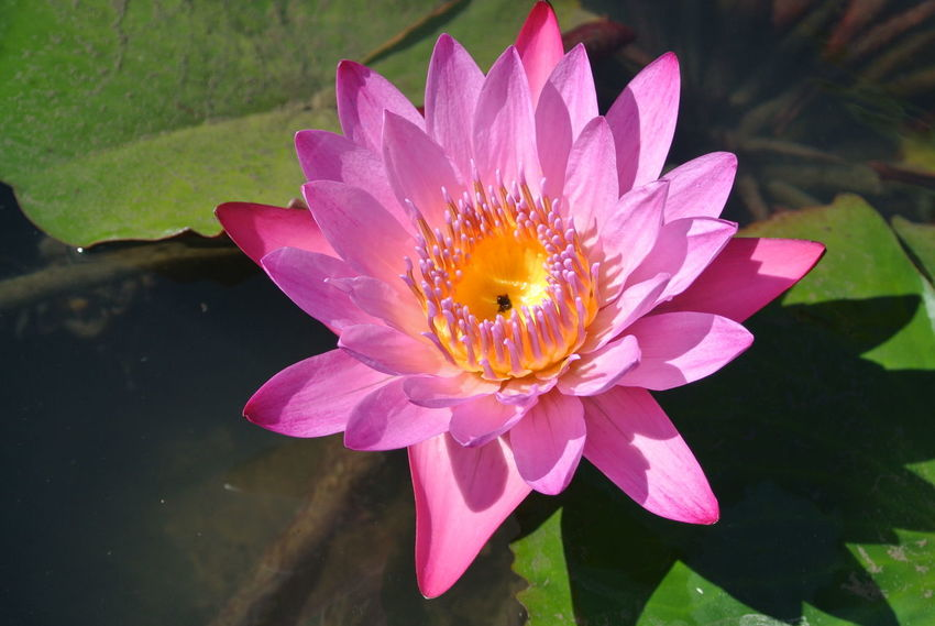 Lotus Flower Petal Flower Head Pink Color Beauty In Nature Fragility Nature Plant Water Lily Water Close-up Lotus Water Lily Outdoors Day
