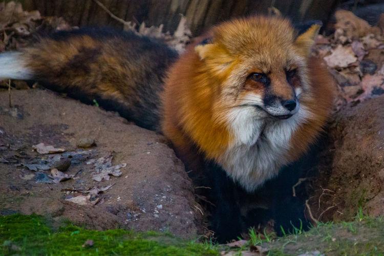 Fox Fox🐺 Fuchs
