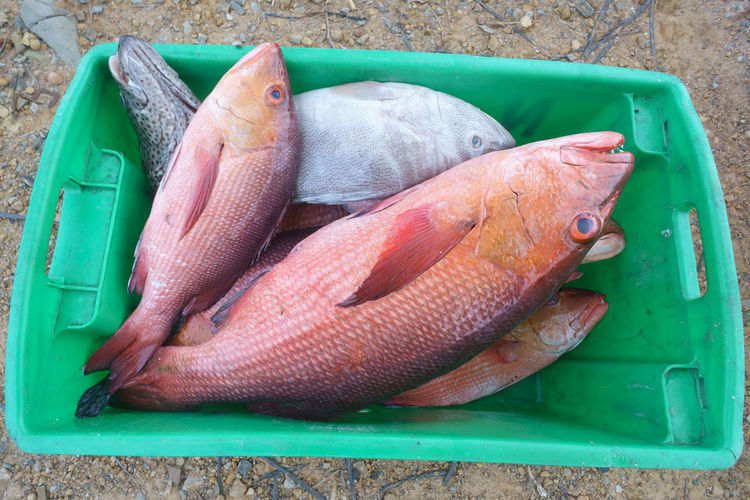 Fresh red snapper fishes a good quality marine seafood products for international market from Sabah Malaysia Borneo. Fish Animal Vertebrate Seafood Food And Drink Freshness Food No People Raw Food Wellbeing High Angle View Healthy Eating Close-up Container Day Green Color Animal Themes Directly Above Outdoors Fresh Fish A Fishing Industry Fish Market Asian Red Sniper Fish Garoupa Fish Sea Animal