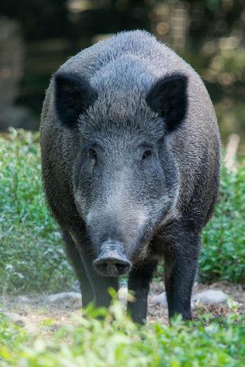 Wildschwein, Aug in Aug - wild boar Wild Boar Wildschwein Eber Schwarzrock Angriffslustig Drohend Blick In Die Kamera Nahaufnahme Portrait Close-up Grass Animal Head