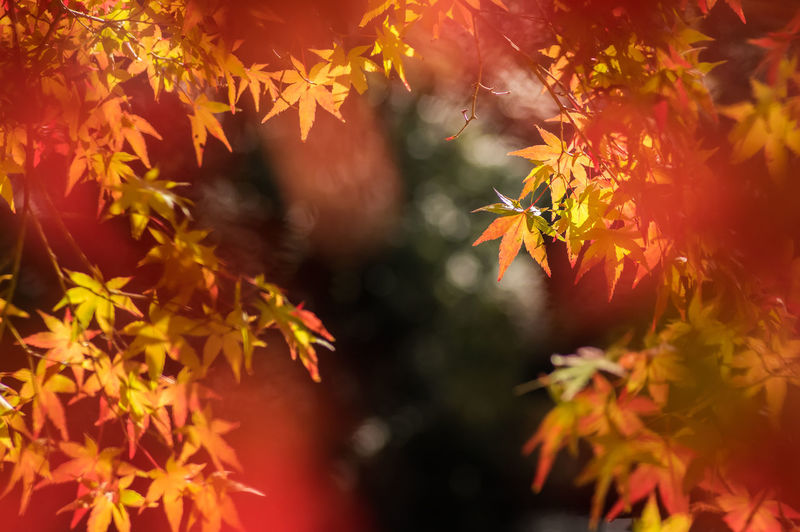 Good day in fall. Autumn Autumnleaves Beauty In Nature Branch Calmness Change Close-up Colorful Leaves Focus On Foreground Growth Japan Kyusyu Leaf Mapleleaf Miyazaki Nature Nature Orange Color Pure Red Red Orange Yellow Riverside Season  Tranquility Tree