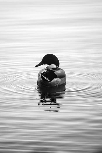 Mallard at the Center of a Ripple Water Waterfront Lake Nature Day Reflection Floating On Water Nature_collection Nature Photography Wave Beauty In Nature EyeEm Nature Lover Swimming Rippled Animals In The Wild One Animal Animal Wildlife Bird Duck Blackandwhite Black And White Bnw Monochrome Black & White Silhouette