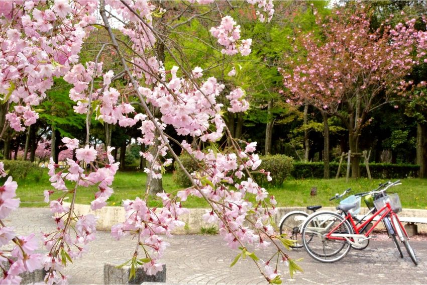 八重桜🌸 Flowers EyeEm Nature Lover Spring 桜 Cherry Blossoms Nikon Eye4photography  EyeEm Best Shots Nature_collection Let's Do It Chic!