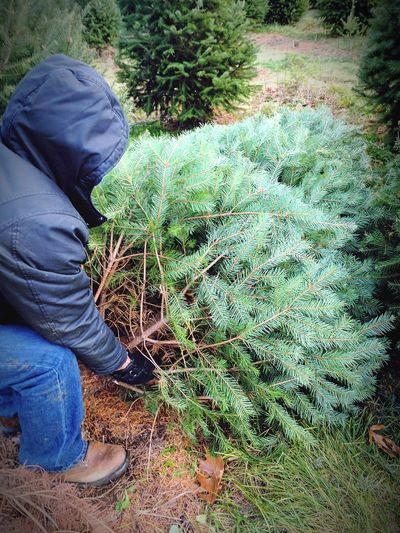 Real People One Person Growth Green Color Nature Outdoors Christmas Tree Christmas Around The World Christmas Time Christmas Decoration Christmas Tree Cutting Farm Cutting Trees Tradition Traditions