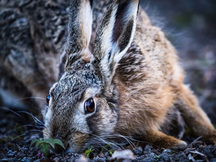 Hare eating and looking up