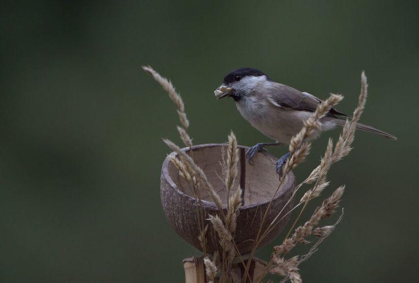 Kohlmeise Singvogel Vogel Bird Photography