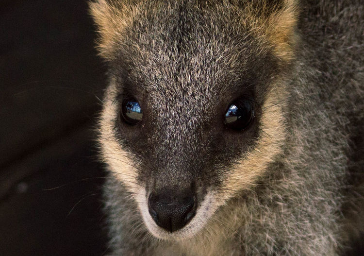 Close-up portrait of wallaby