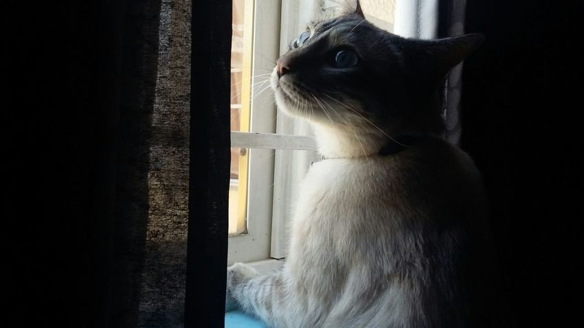 Taking Photos No Filter Animals Cat Beautiful Light And Shadow Blue Eyes Cute Pets Cats