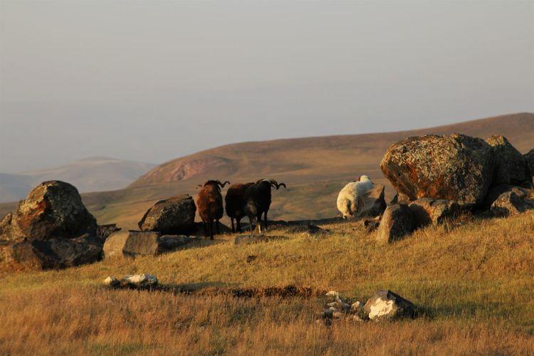 Turkey Dogubayazit Turkey💕 Animal Themes Domestic Animals Field Landscape Nature No People Outdoors