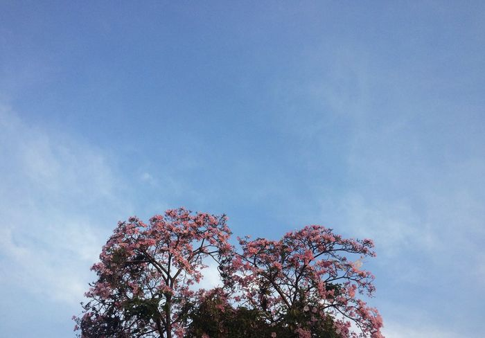 Tree Tree Beauty In Nature Cloud Blue Sky Nature Day Pink Color Flower Tranquility
