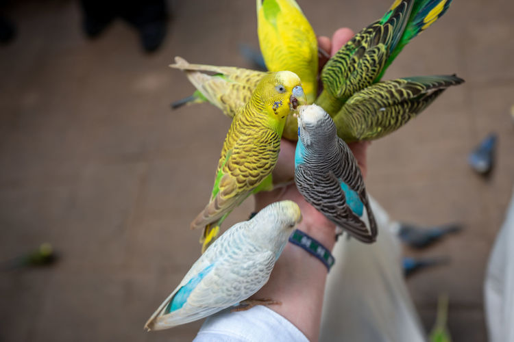 Langkawi Vertebrate Bird Animal Wildlife Parrot One Person Hand Human Body Part Human Hand Parakeet Animals In The Wild Budgerigar Real People Group Of Animals Focus On Foreground Unrecognizable Person Body Part Lifestyles Outdoors Finger Lovebirds