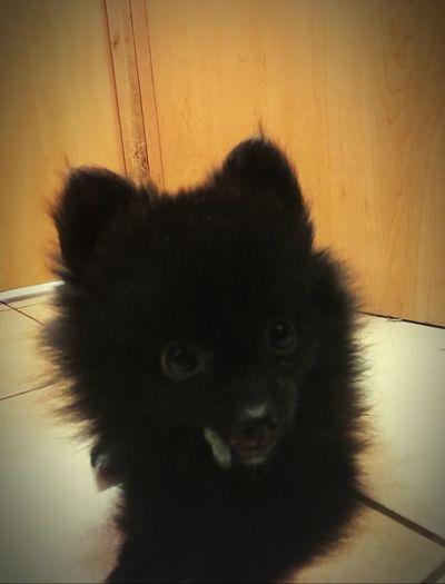 Cuties <3 Pomeranian Puppy One Animal Mammal Animal Themes Indoors  No People Home Interior Looking At Camera