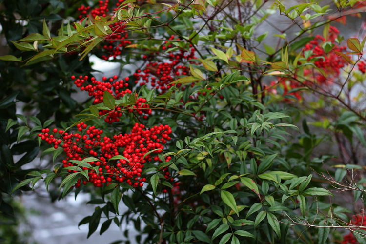 Berries contrast leaves Red Nature Plant Fruit Leaf Outdoors Growth No People Beauty In Nature Day Close-up