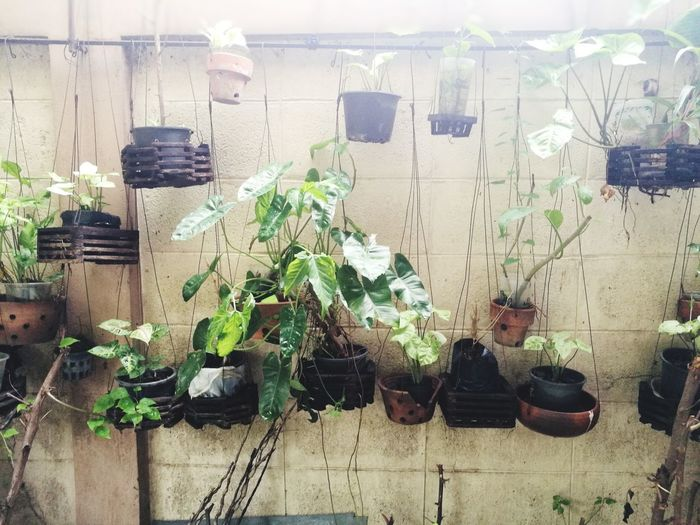 Plants Outdoors Plants On The Wall No People Light Green Leaves Hanging Plants City Potted Plant