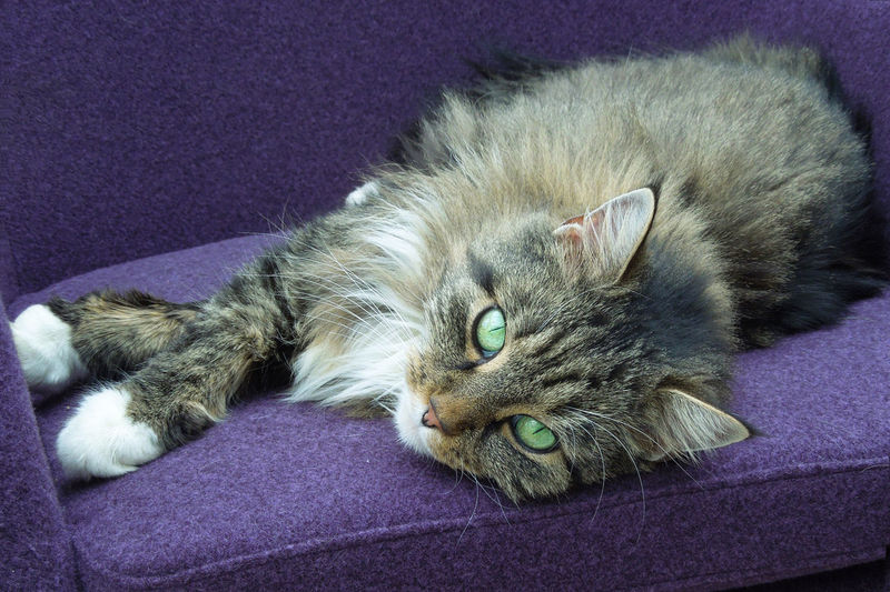 Animal Themes Close-up Crossed Legs Day Domestic Animals Domestic Cat Feline Green Eyes Indoors  Lying Down Mammal No People One Animal Pets Portrait Siberian Cat Siberian Woodcat Violet Chair White Paws