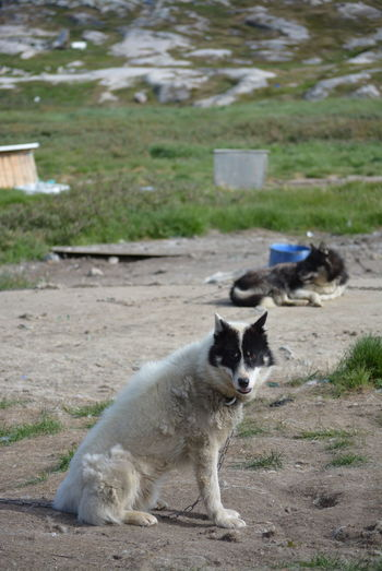 Ilulissat, Greenland - July, chained sled dog / husky in summer | sledge dogs / huskies Dog Love Husky Sled Dog Greenland Animal Working Animal Dog Summer Outdoors Scenery Tradition Day Sun Fleecy Fluffy Dogs Dogslife Animal Themes Domestic Animals Bored Waiting Pets Mammal Nature