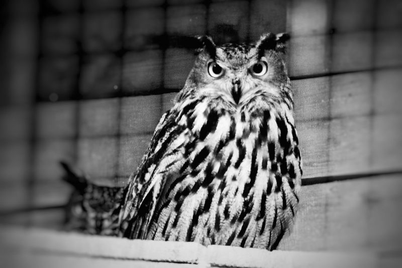 Close-up portrait of owl in cage at zoo